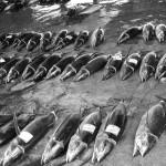 串本漁港でのカツオの水揚げ